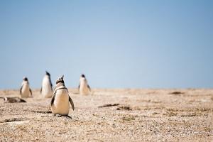 penguin di gurun?
